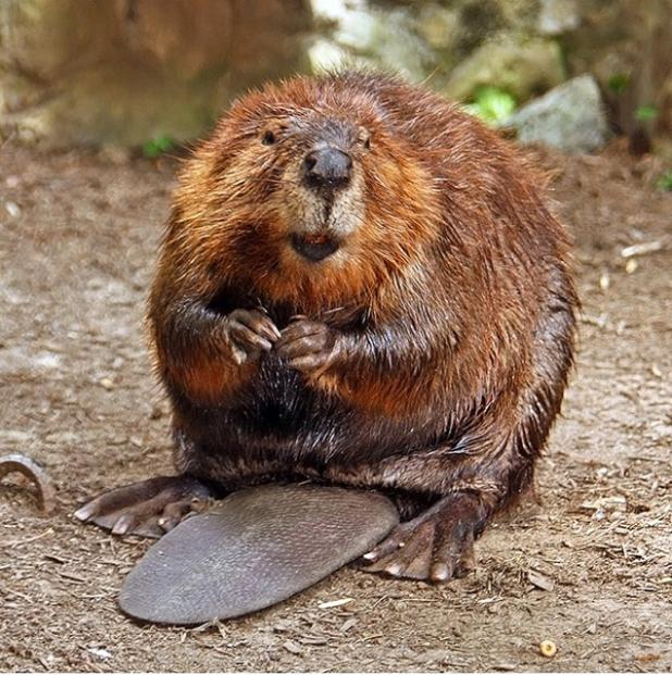Beaver Attack Sends Kayaker to the Hospital