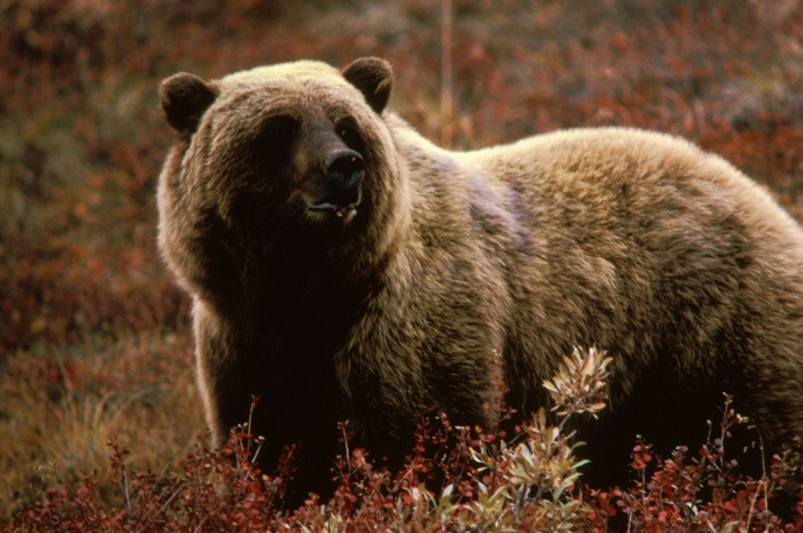 Native American Tribes Oppose Plan for Grizzly Hunt in the Yellowstone Area