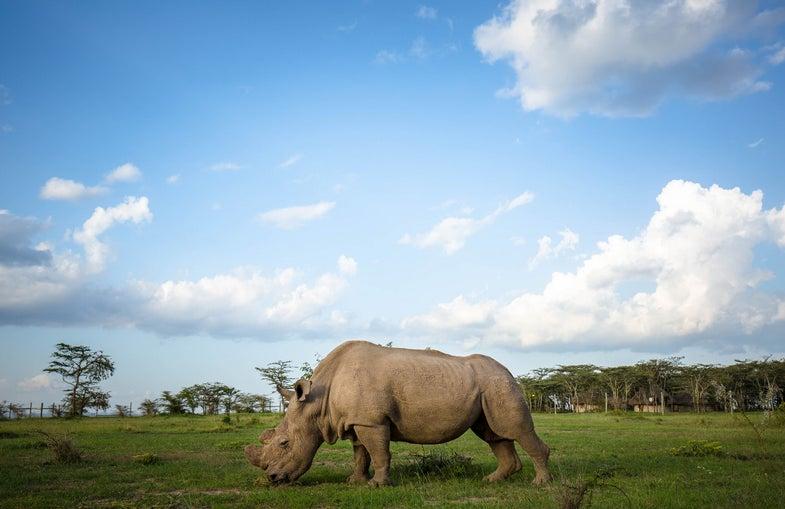 sudan, northern white rhinosceros, kenya, 2015