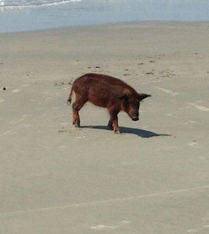 South Carolina Hires Feral Hog Killers, Local Hunters Protest