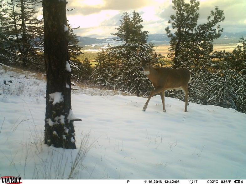 Western Rut Buck