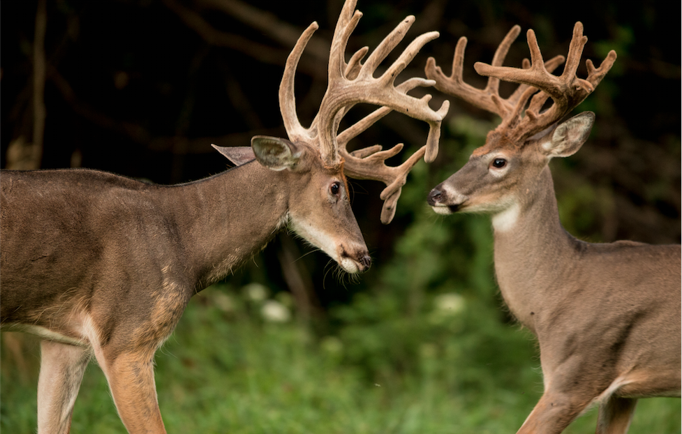 Early-Season Bowhunting: Target the Bully Buck
