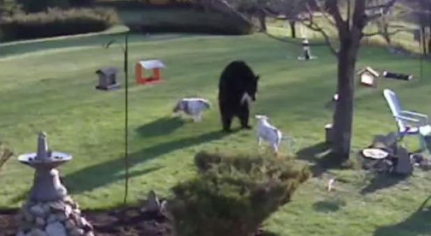 Video: 2 Bulldogs Go Face-to-Face with Black Bear