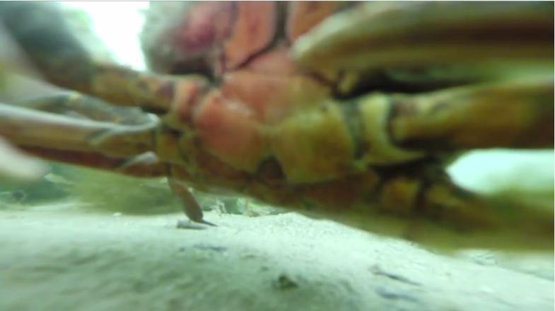 crab gopro footage still