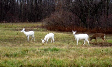 Rare New York White Deer Could Lose Home