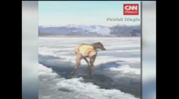 Video: Hunters Rescue Elk from Frozen Lake