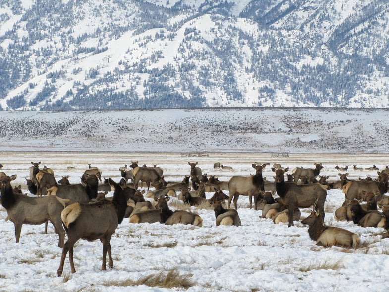 Drone Causes 1,500 Elk to Stampede in National Elk Refuge