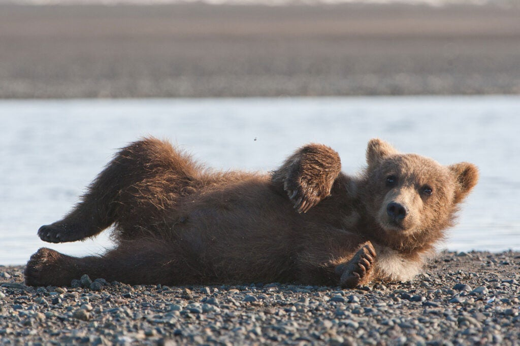 httpswww.fieldandstream.comsitesfieldandstream.comfilesimport2014importImage2011photo38356BARM_BearWars_Alaska_EXCL_004.jpg