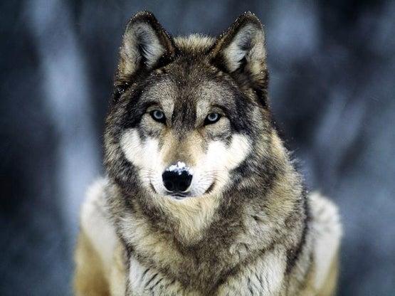 httpswww.fieldandstream.comsitesfieldandstream.comfilesimport2014importBlogPostembedgrey-wolf_565_600x450.jpg