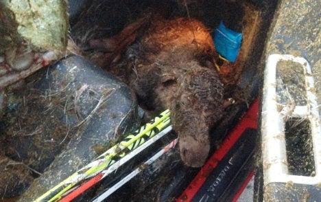 Dead Moose Gives Birth Inside Volvo