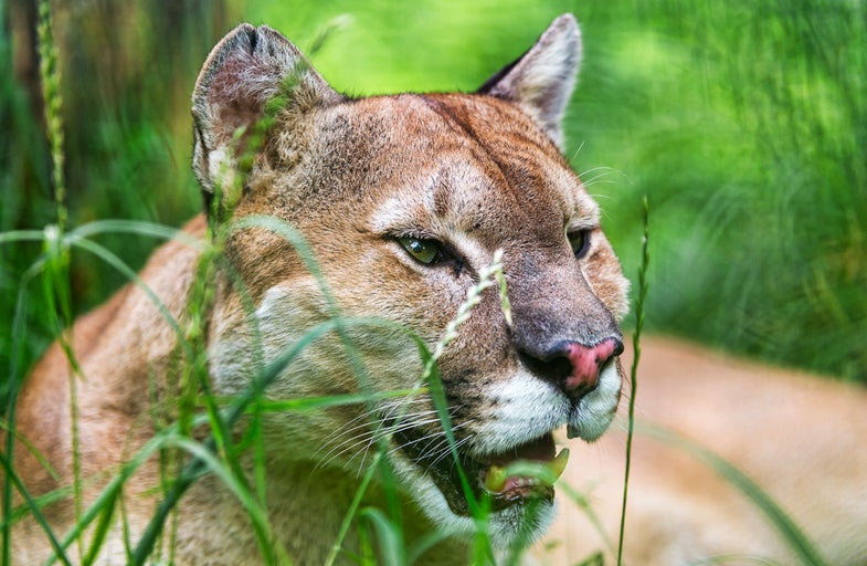 Study: Mountain Lions Are Eating Large Number of Pets