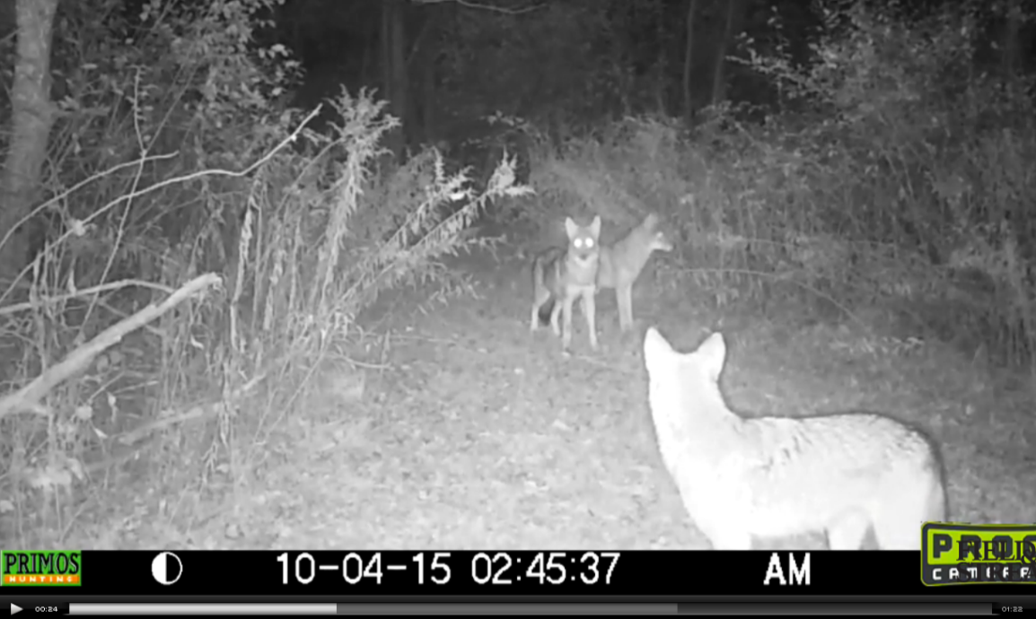 Video: Coyotes Hunt for Fawn Caught on Trail Camera