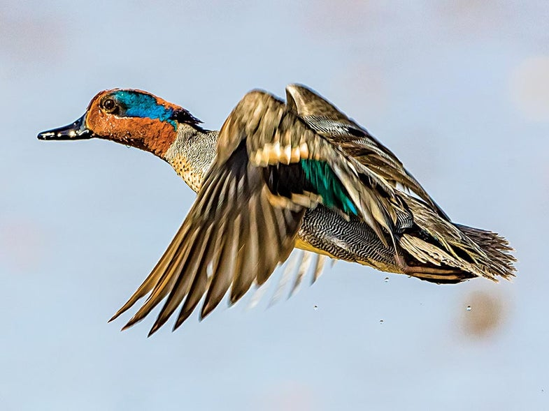 greenwing teal drake duck in flight