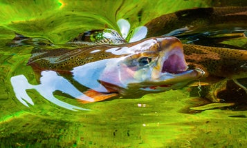 California Could Lose Three-Fourths of Its Salmonids in the Next 100 Years