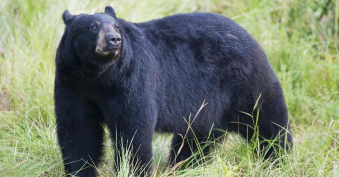 florida bear hunt, hunting florida bears, petition,