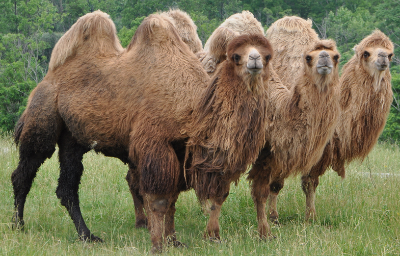 Would You Eat Camel Hump?