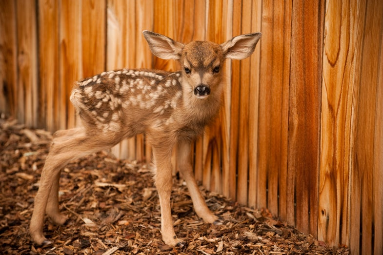 Muley Fawns Too Cute for Field & Stream?