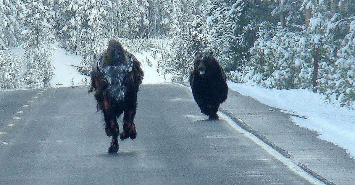 Amateur Photographer Captures a Grizzly Bear Chasing a Bison Down a Highway in Yellowstone