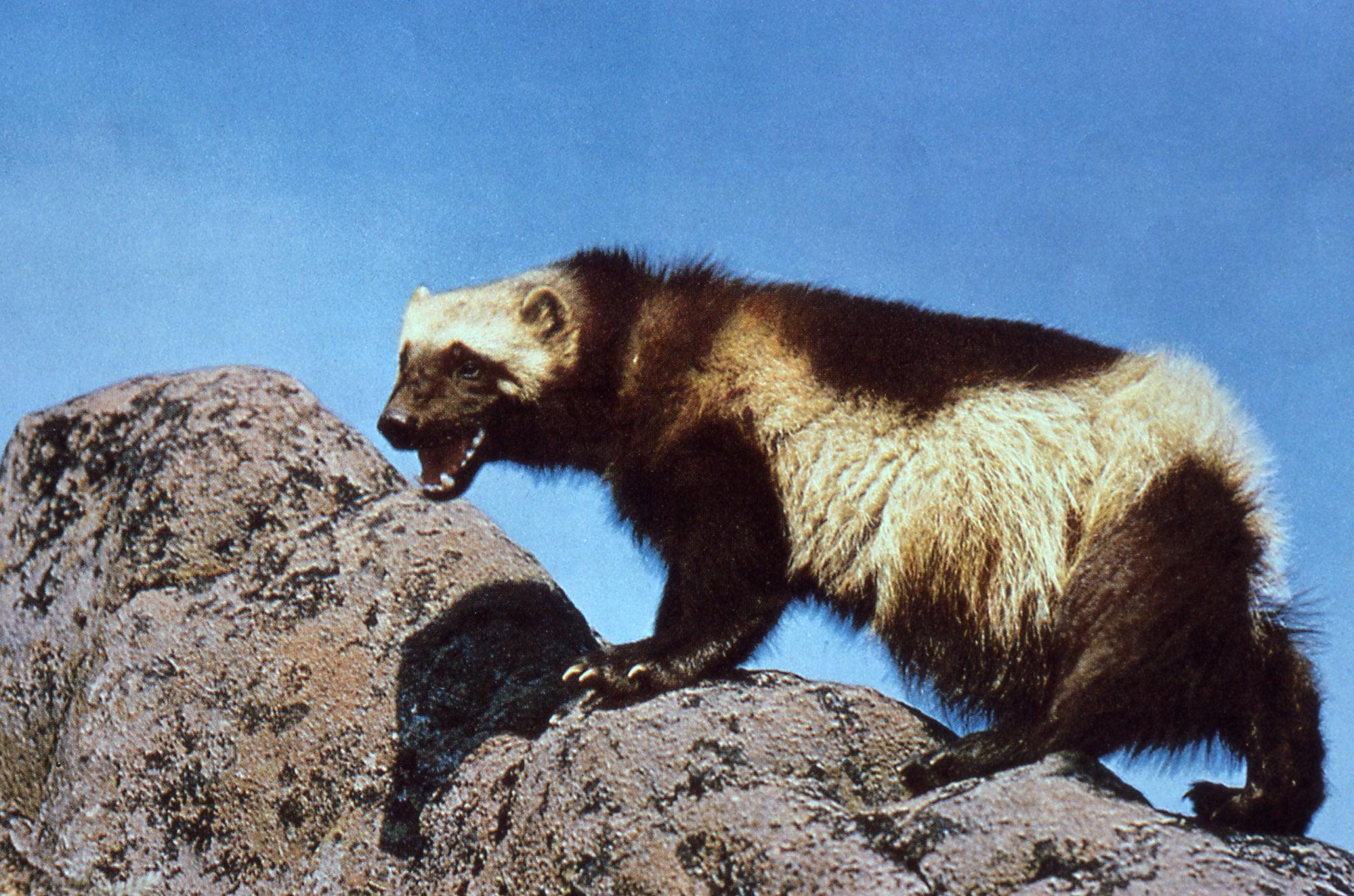 wolverine, usfws, endangered species, threatened species