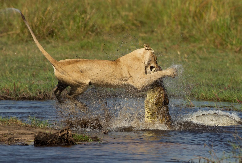 Lion vs. Crocodile: 2 Top Predators Battle It Out in Botswana