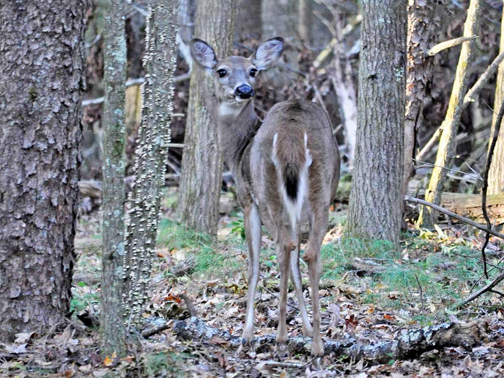 whitetail deer, woods, tennessee