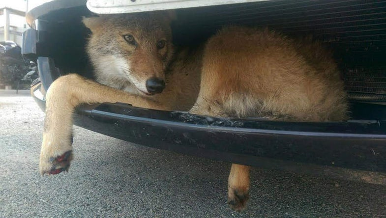 Coyote Carried Six Miles Wedged in the Grill of SUV