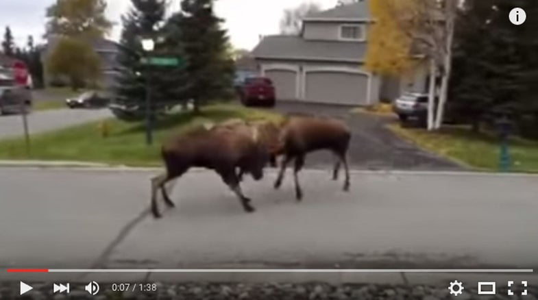 Video: Moose Face Off in Anchorage Street