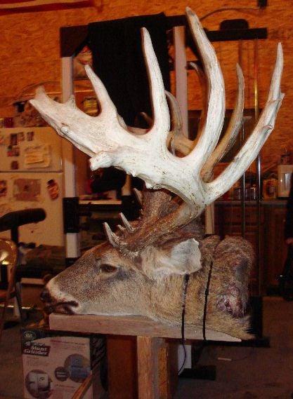 Possible State-Record Buck Found Dead in Clinton, Michigan