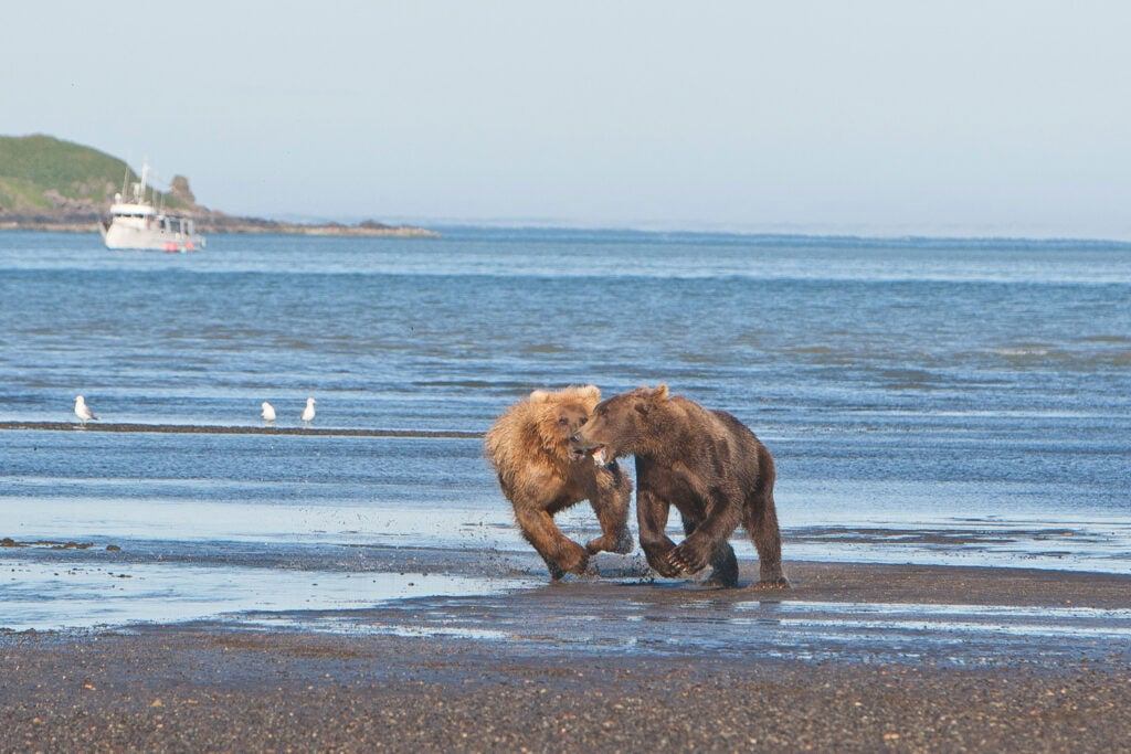 httpswww.fieldandstream.comsitesfieldandstream.comfilesimport2014importImage2011photo38356BARM_BearWars_Alaska_EXCL_015_0.jpg