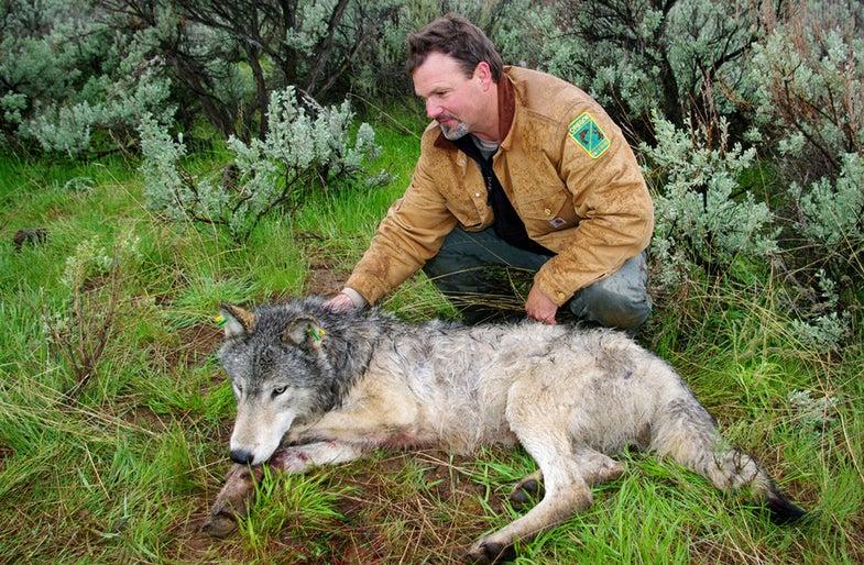 Oregon Proposes Delisting Wolves as Endangered Species