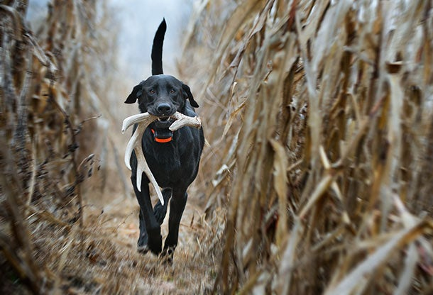 Train Your Bird Dog How to Find Sheds