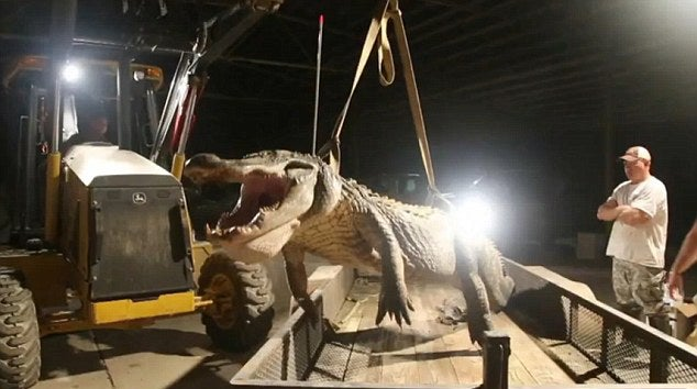 State-Record Alligator Taken in Mississippi