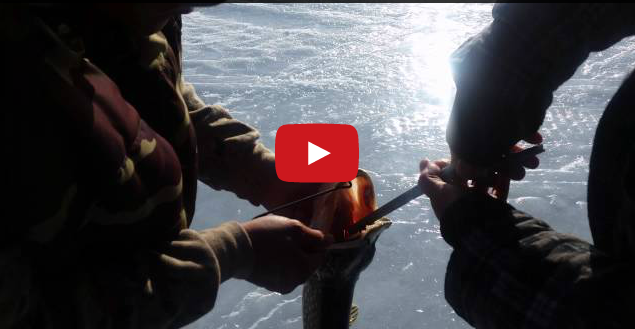 Video: It's a Pike Eat Pike World