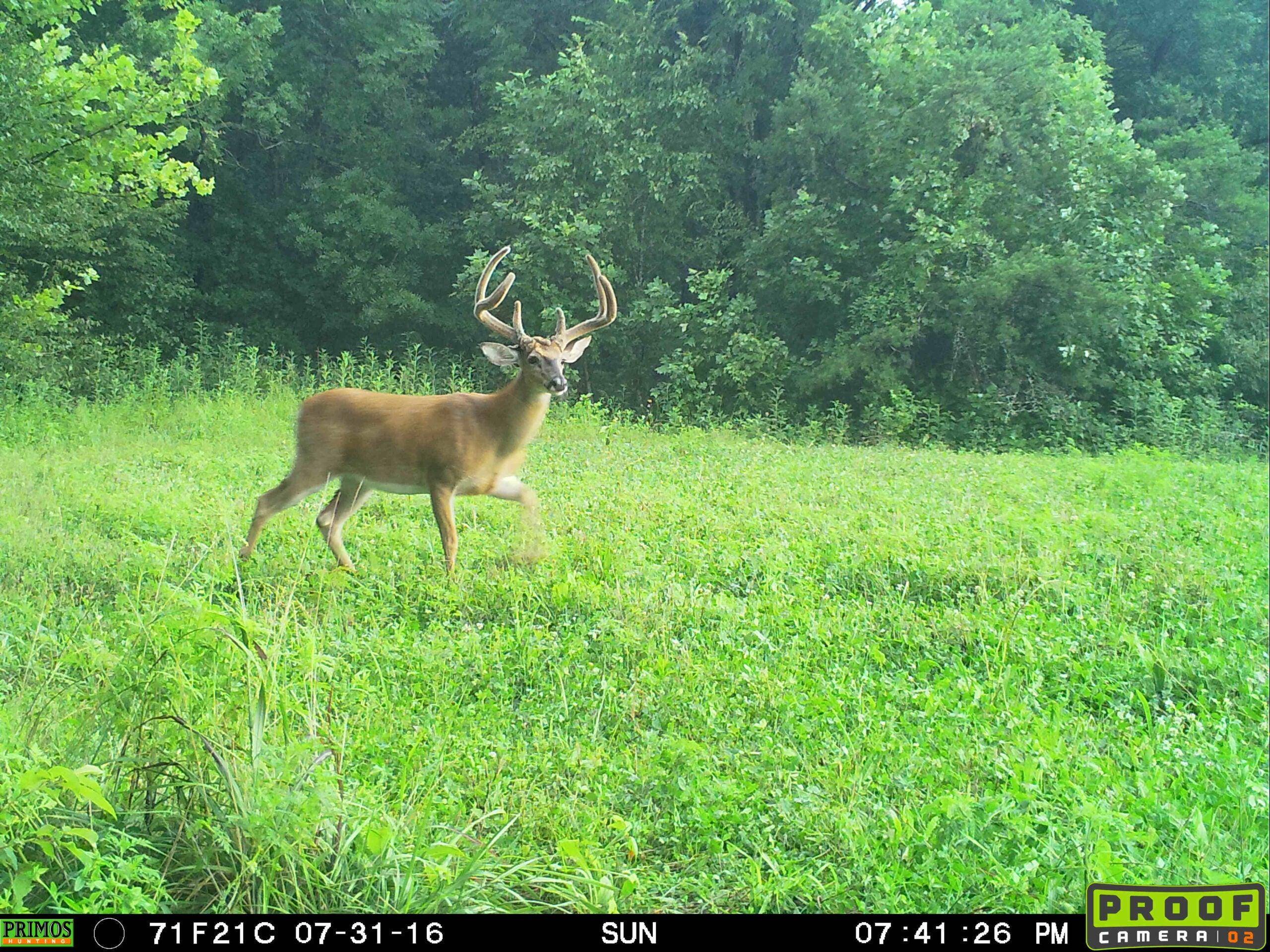 Big 6-point buck