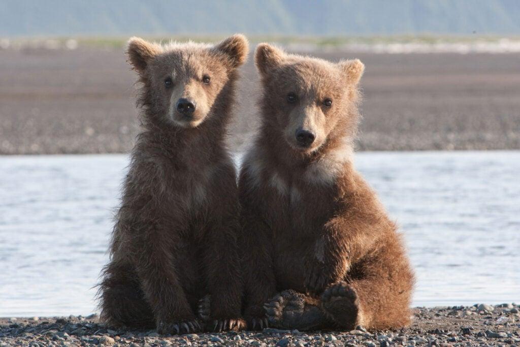 httpswww.fieldandstream.comsitesfieldandstream.comfilesimport2014importImage2011photo38356BARM_BearWars_Alaska_EXCL_002.jpg