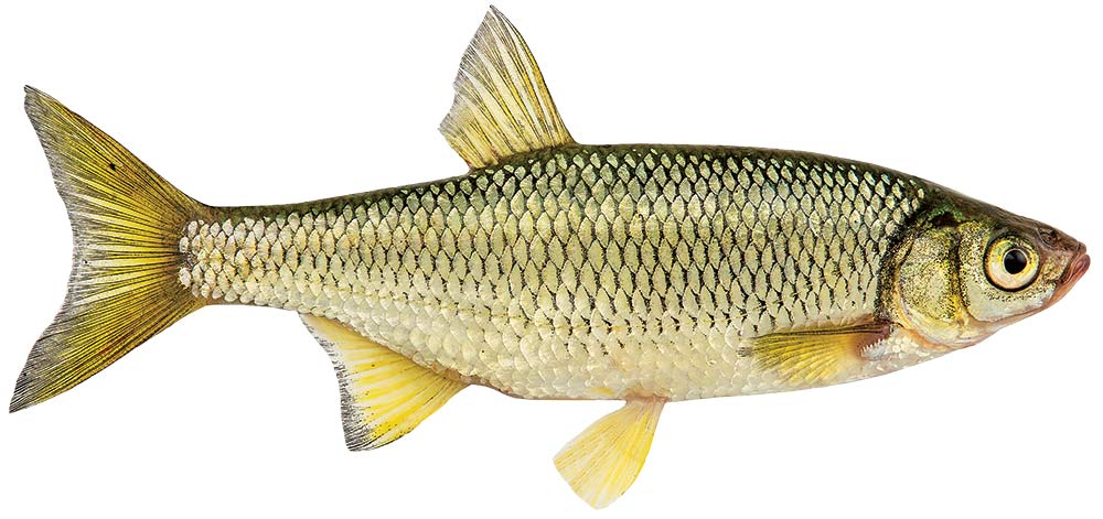whitefish live bait for northern pike