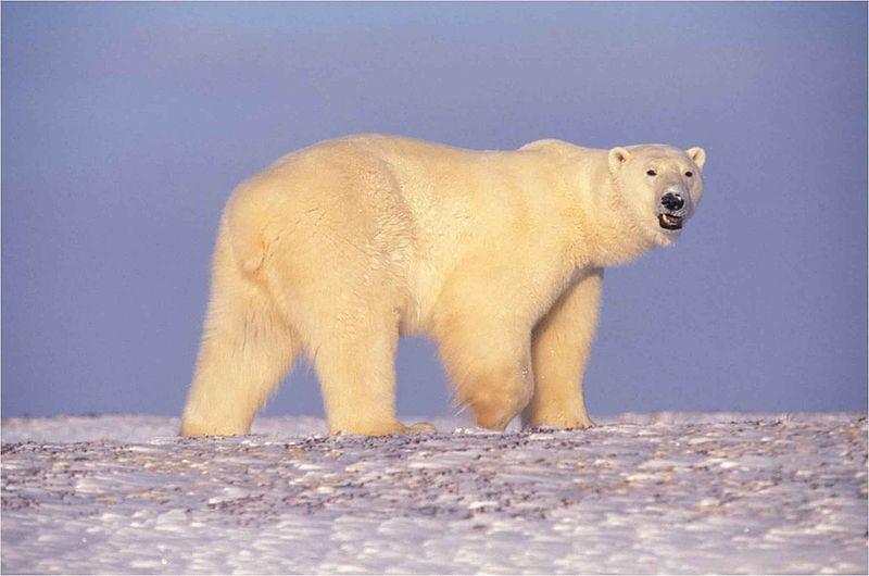 Polar Bears Terrorizing Group of Arctic Scientists