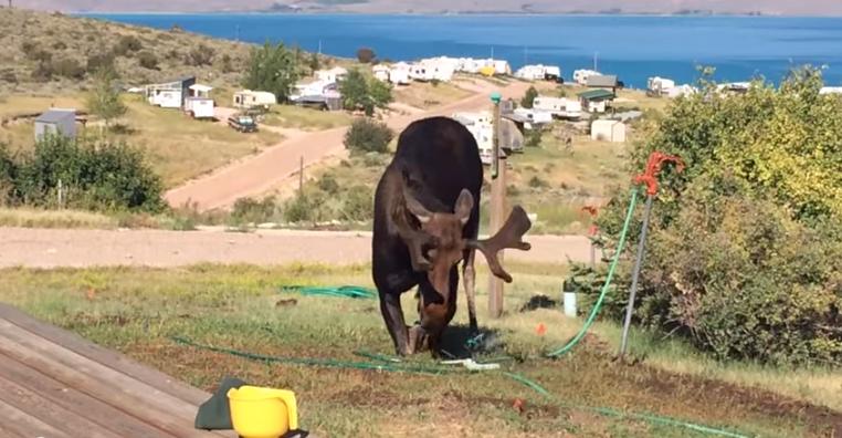 Video: Moose Drinks from Backyard Sprinkler
