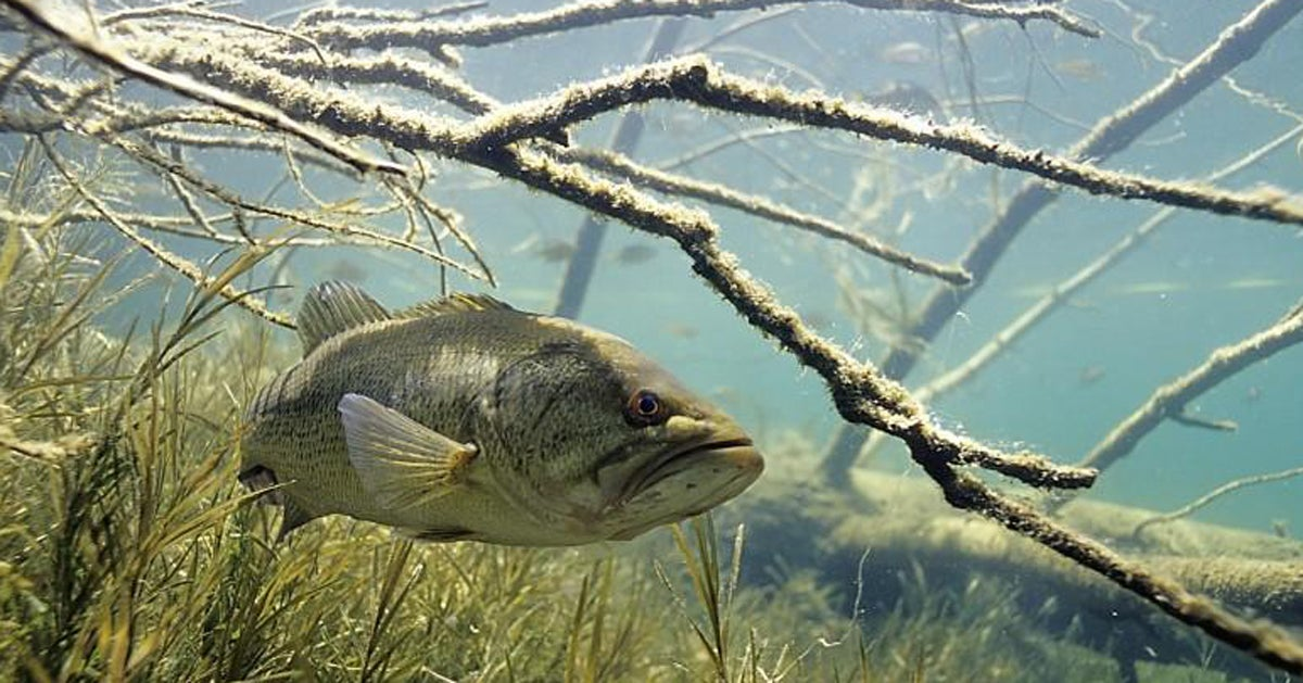 Where and How to Catch Late-Summer Largemouths