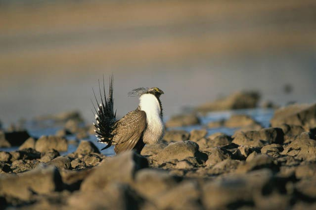 male sage grouse performing mating ritual