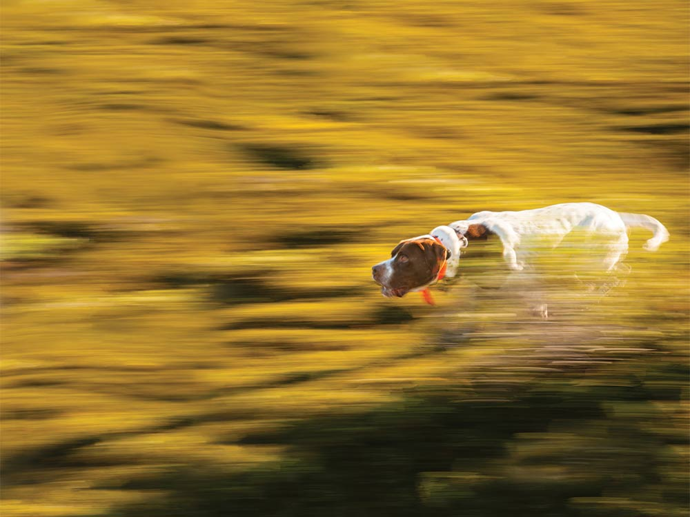 English pointer running through a field