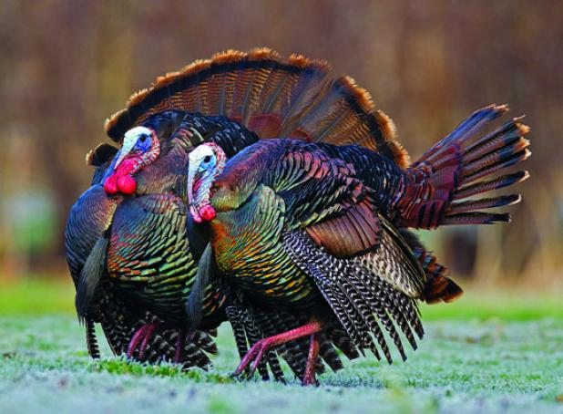 Turkey Tip: Tagging Late-Season Toms That Travel in Pairs