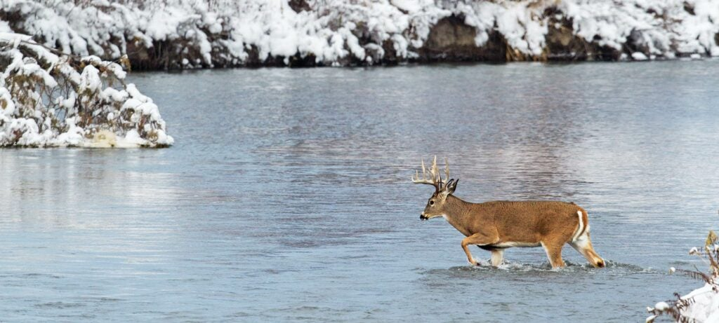 Whitetail buck wading a river