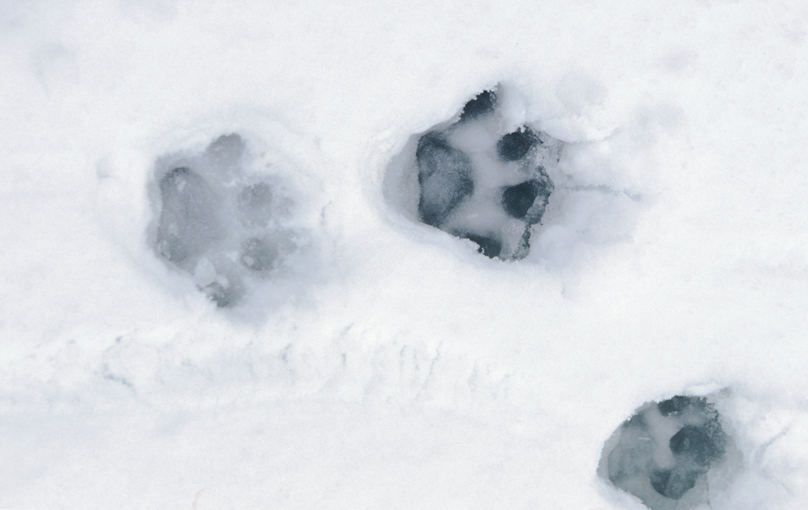 Photograph of mountain lion footprints in the snow.
