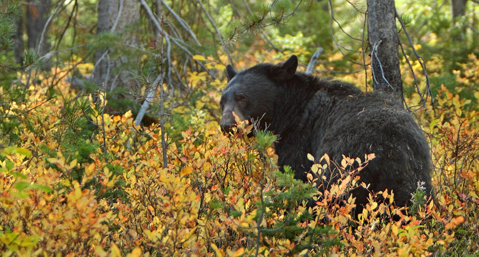 Maine Voters Reject Ban on Bear Hunting With Hounds and Bait