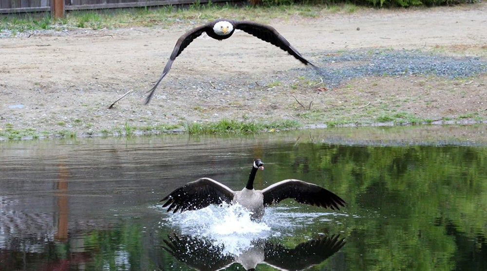 d eagle attacks, goose vs. bald eagle, bald eagle attacks goose,
