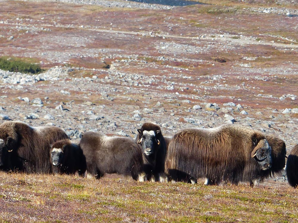 musk ox caribou hunting in greenland
