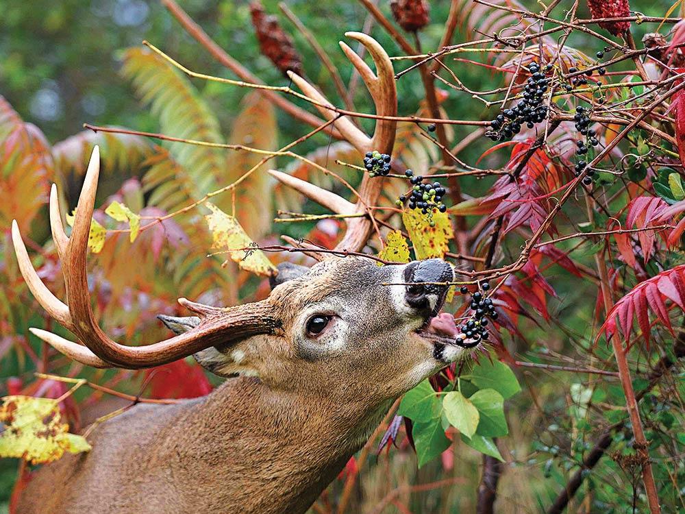 whitetail buck feeding berries