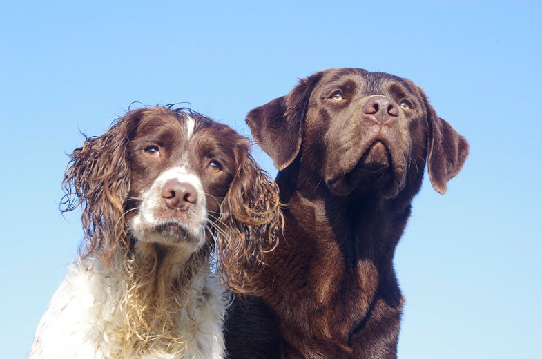 Gun Dogs, springer spaniel, Labrador retriever