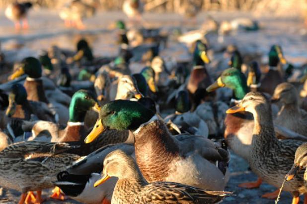 httpswww.fieldandstream.comsitesfieldandstream.comfilesimport2014importBlogPostembedCentral_Flyway_Duck_Report12.JPG